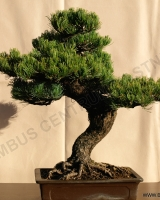 bonsaj-no-6-pinus