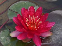 nymphaea-red-paradise