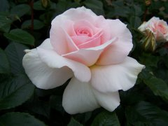 rosa-a-whiter-shade-of-pale
