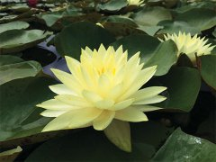 nymphaea-perrys-double-yellow