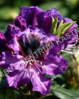rhododendron-blue-jungs