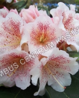 rhododendron-double-dots