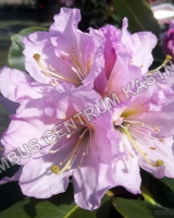 rhododendron-dufthecke-lila