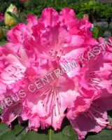 rhododendron-germania