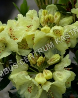 rhododendron-goldkrone