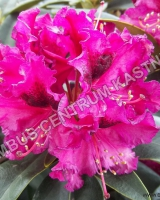 rhododendron-madame-fortier
