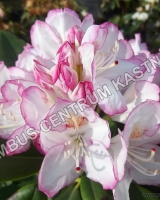rhododendron-picotee