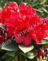 rhododendron-red-jack