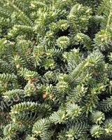 abies-koreana-blue-emperor