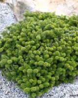 abies-koreana-cis
