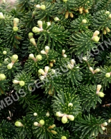 abies-koreana-dark-hill