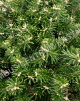 abies-koreana-green-carpet