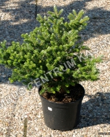 abies-koreana-knospenkonigin