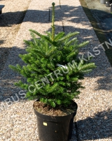 abies-koreana-molly-habitus