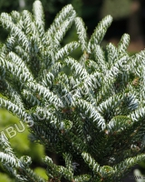 abies-koreana-silver-star