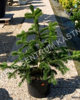 abies-nordmaniana-robusta-1