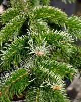 abies-nordmaniana-robusta