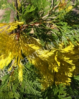 calocedrus-decurrens-aureovariegata-jehlice