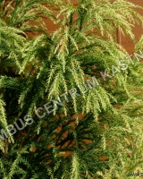cryptomeria-japonica-hungarian-gold-jehlice