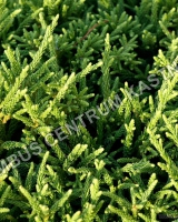cryptomeria-japonica-little-champion-2