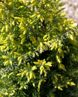 juniperus-communis-gold-cone