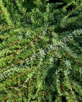 juniperus-communis-green-carpet
