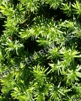 juniperus-conferta-blue-pacific
