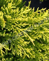 juniperus-pfitzeriana-king-of-spring-nove-jehlice