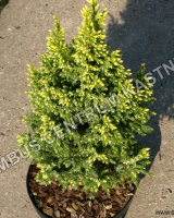juniperus-pingii-hulsdonck-yellow