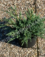 juniperus-squamata-blue-carpet-habitus