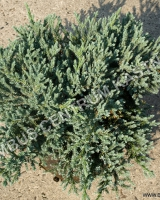 juniperus-squamata-tropical-blue