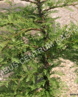 metasequoia-glyptostroboides-miss-grace