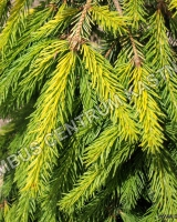 picea-abies-gold-drift-jehlice