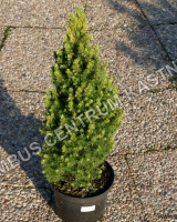 picea-glauca-rainbows-end