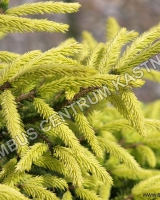picea-orientalis-golden-start