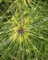 pinus-densiflora-golden-ghost