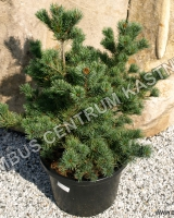 pinus-parviflora-floppy-joe-habitus