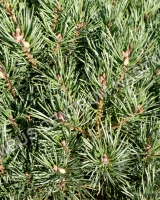 pinus-sylvestris-chantry-blue-2