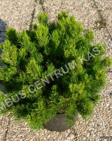 pinus-virginiana-top-knot