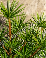 sciadopitys-verticillata-beauty-green