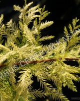 taxodium-distichum-peve-yellow-1