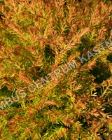 thuja-occidentalis-fire-chief