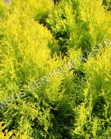 thuja-occidentalis-golden-smaragd