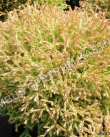 thuja-occidentalis-golden-tuffet