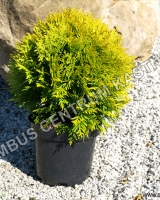 thuja-occidentalis-mirjam-habitus