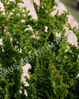 thuja-occidentalis-zmatlik