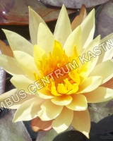 nymphaea-hawaian-gold