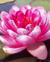 nymphaea-perrys-dwarf-red