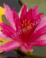 nymphaea-perrys-red-blaze