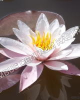 nymphaea-rose-magnolia_0